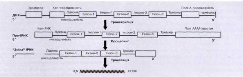 Транскрипція, процесинг, сплайсинг