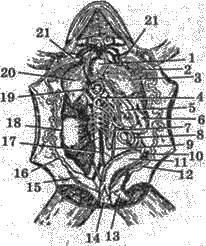 Клас Земноводні, або Амфібії   Тип Хордові   Підцарство Багатоклітинні