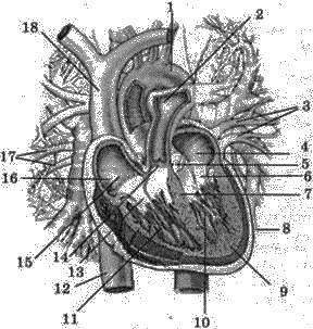 Будова серця людини   КРОВ І КРОВООБІГ   БІОЛОГІЯ ЛЮДИНИ