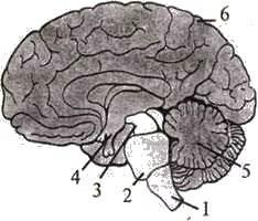 Великі півкулі головного мозку