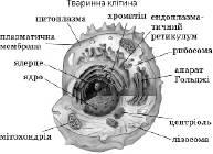 Будова клітини   Клітина як основна структурно функціональна одиниця живої природи   Загальна Біологія