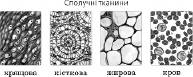 Тканини   Біологія людини