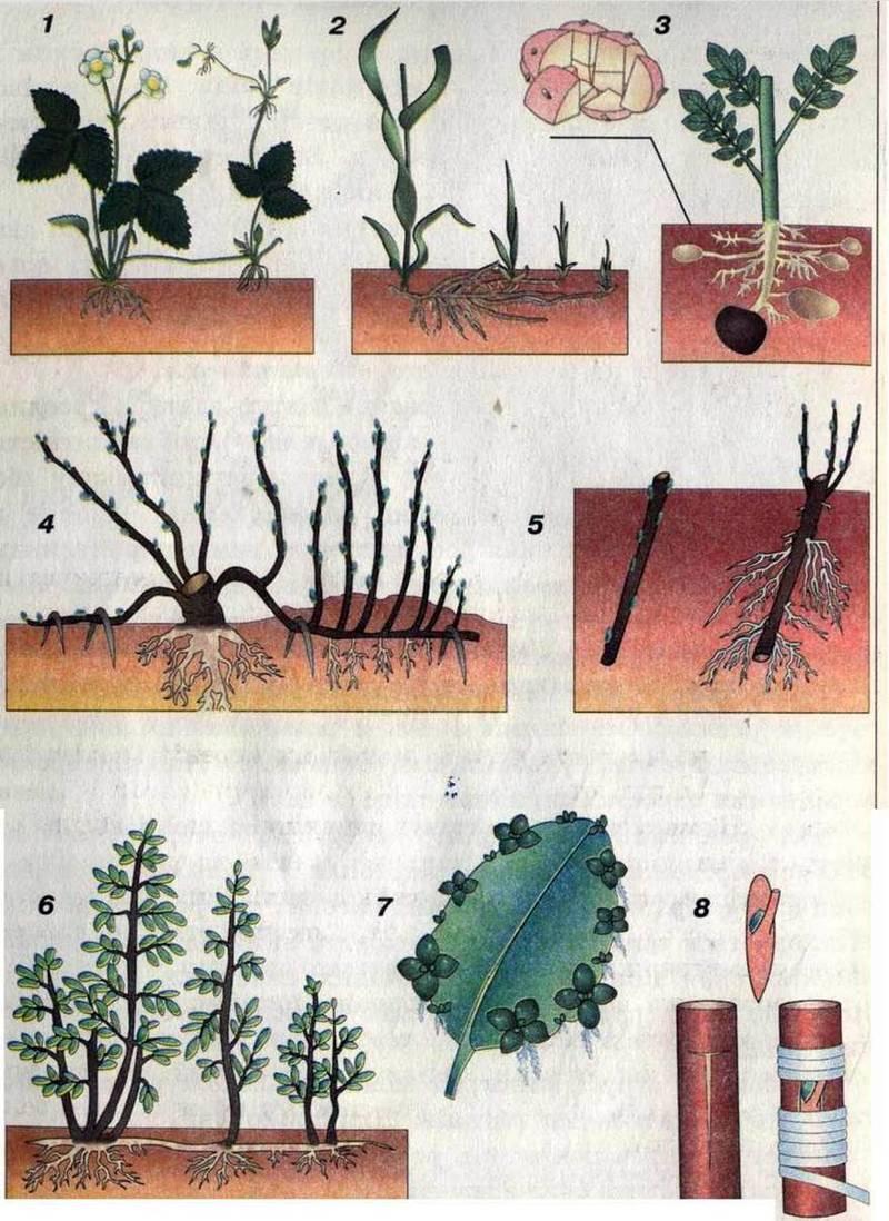 Розмноження рослин і тварин