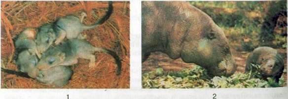Розмноження і розвиток ссавців