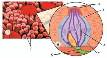 Сенсорні системи смаку й нюху