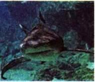Надклас Риби. Особливості будови та життєдіяльності хрящових риб