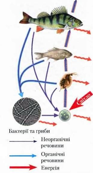 Ланцюги живлення в екосистемах