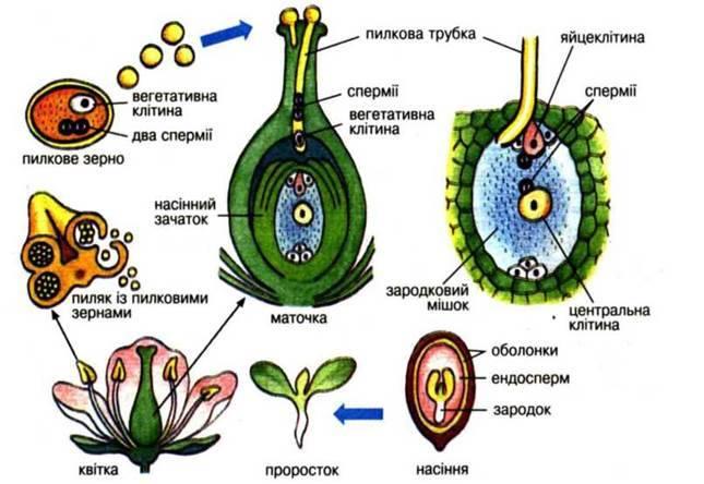 ГАМЕТОГЕНЕЗ І ЗАПЛІДНЕННЯ | Біологія