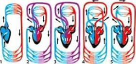 Результат пошуку зображень за запитом кровоносна система тварин